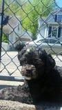 Daisy Dog Fotografia Stock Libera da Diritti