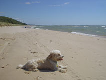 Daisy dog at beach. Lake Michigan sand dune water sky blue Royalty Free Stock Photography