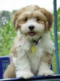 Daisy Dog. Daisy-dog, designer shedding puppy fur brown white green Stock Photos
