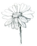 Daisy draw. Daisy flower isolated with hand made clipping path Royalty Free Stock Image