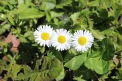 Daisy drietallen stock fotografie