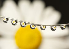 Daisy drops Royalty Free Stock Photo