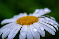 Daisy with drops stock image