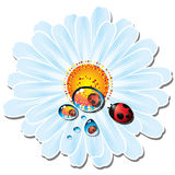 Daisy with drops of water and ladybird Stock Images