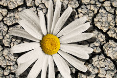 Daisy on dry cracking mud Royalty Free Stock Photography