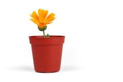Daisy in een Pot Royalty-vrije Stock Afbeeldingen