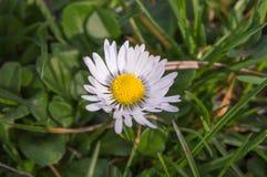 Daisy in een tuin Stock Fotografie