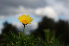Daisy, eerste tekens van de lente Royalty-vrije Stock Afbeeldingen