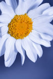 The Daisy Effect Stock Image