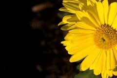 Daisy en zon Stock Afbeeldingen