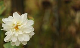 Daisy family chrysanthemum flower. Chrysanthemum flower, Beautiful zinnia flower blooming in garden. Sunflower tribe flowers. Daisy family flowers.n royalty free stock photography