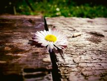Daisy. A Daisy fell down on the wood Royalty Free Stock Photography