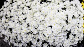 White daisy bushes. Daisy is a feminine given name, commonly thought to be derived from the name of the flower Royalty Free Stock Image