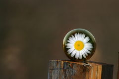 Daisy on fence post. A daisy in an orb sitting on a fence post Stock Photo