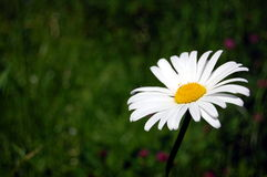 Daisy on a field. A single daisy on the green field Stock Photography