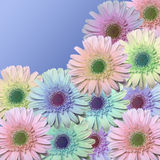 Daisy Field. Daisys of many colors on a blue backroun with room for copy in the upper riaght Stock Photography