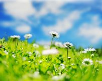 Daisy field Royalty Free Stock Image