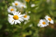 Daisy Field. Field of daisys, shallow focus on front flower stock photo