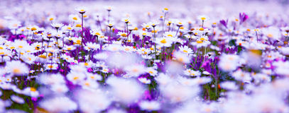 Daisy field Royalty Free Stock Photos