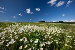 Daisy field Stock Photos