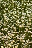 Daisy Field Stock Image