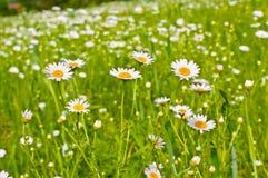 Daisy field Stock Photo