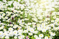 Daisy Field Photographie stock libre de droits