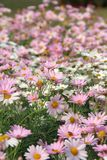 Daisy field Royalty Free Stock Photo