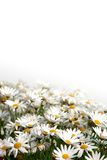 Daisy field. On a white background Stock Photography