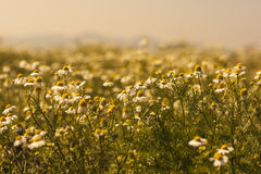 Daisy Field Photo stock