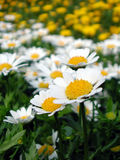 Daisy field. In white Stock Photography