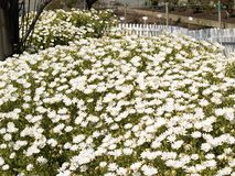 Daisy Field. Field of white daises Stock Image