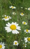 Daisy Field Stockbild