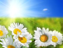 Daisy field Royalty Free Stock Images