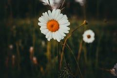 Daisy In The Field royaltyfri foto