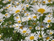 Daisy field Stock Images