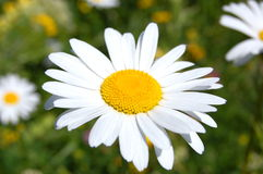 Daisy on a field Stock Images