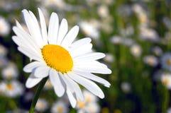 Daisy on a field. A single daisy on the green field Royalty Free Stock Photography