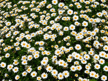 Daisy field (Bellis Perennis) Stock Photos