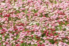 Daisy Field Blossom rosada Fotos de archivo libres de regalías