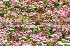 Daisy Field Blossom rosada Fotografía de archivo