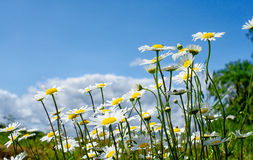 Daisy field with a blue sky Stock Image