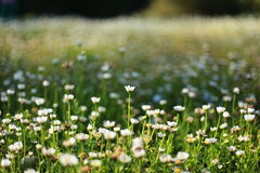 Daisy. Field with blur background Stock Image