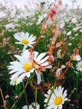 Daisy field. Bold and vibrant plants Stock Photo