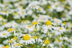 Daisy. Field of daisy of close up shot Stock Image