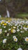 Daisy field Royalty Free Stock Image