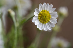 Daisy field closeup Royalty Free Stock Photography