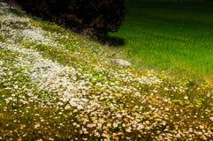 Daisy Field In ein Tag des Frühlinges Stockbilder