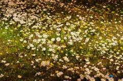 Daisy Field In ein Tag des Frühlinges Lizenzfreie Stockfotografie