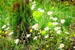 Daisy Field In ein Tag des Frühlinges Stockfoto